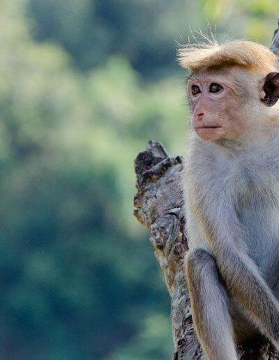 Privát utazás Sri-Lanka majom